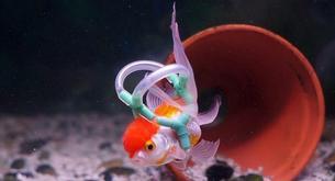 Un britanico diseña un chaleco a su pez para que pueda nadar